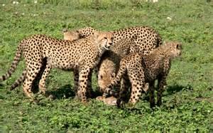 Wild Animals Cheetah Family