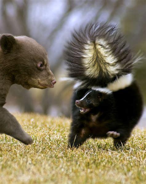 skunk bear striped cub oso moffetta mofeta animal negro movimento sfuocatura orso minaccia strisce nero rayada animals listrada blur threatens