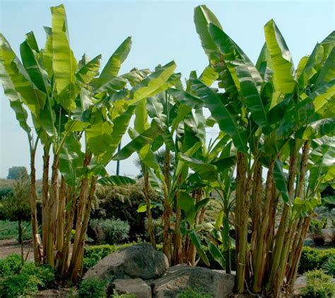 banana trees growing banana trees the home depot community
