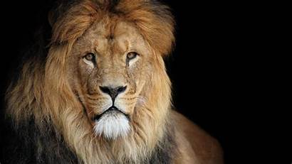 Lion Wallpapers Roaring 1080p Animal African Portrait
