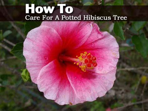 caring for hibiscus in pots potted hibiscus images