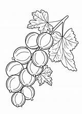 Coloring Pages Berries Fruits Gooseberry Colouring Printable Fruit Drawing 4kids Sheets Vegetable Vegetables Drawings Picolour Navštiviť Uložene Dentistmitcham sketch template
