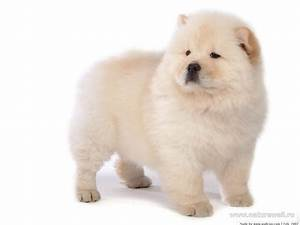 25 Most Amazing White Chow Chow Dog Pictures And Photos