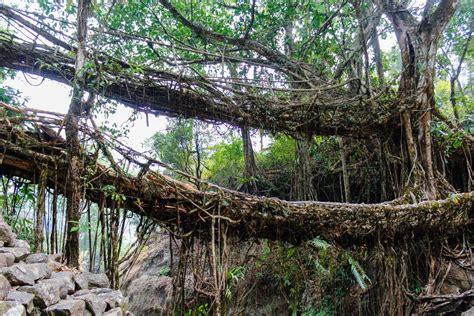 Double Decker Living Root Bridge Smithsonian Photo