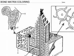 Bone Matrix Coloring Worksheet For 9th