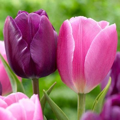 25 best ideas about tulip bulbs for sale on
