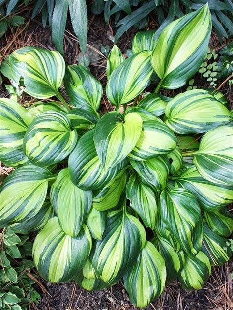 are hostas perennials or annuals 115 best images about flowers hosta on pinterest hosta gardens lavender flowers and white