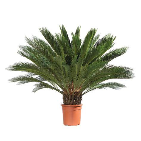 cycas revoluta hauteur 40 50 cm conteneur 10 litres autres marques jardinerie truffaut