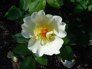 Ich Suche Garten : ich suche eure gelben lieblingsrosen page 2 mein ~ Whattoseeinmadrid.com Haus und Dekorationen