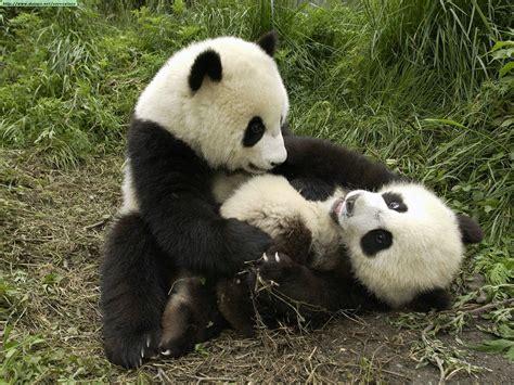 pandas photos