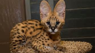 serval cat for serval san diego zoo animals plants