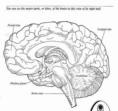 Brain Coloring Parts Worksheet Diagram Label Anatomy