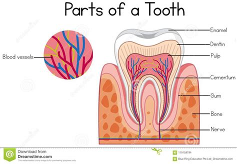 Diagram Of To by Parts Of A Tooth Diagram Stock Vector Illustration Of