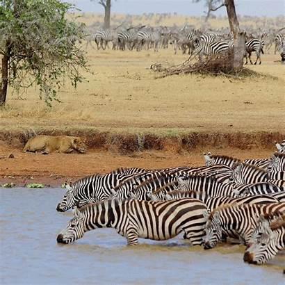 Wildlife Lions Singita Lots Reports Highlights Giraffe