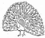Peacock Coloring Pages Realistic Drawing Printable Male Simple Open Outline Colour Line Bird Plumage Peafowl Adult Kid Its Kidsplaycolor Cartoon sketch template