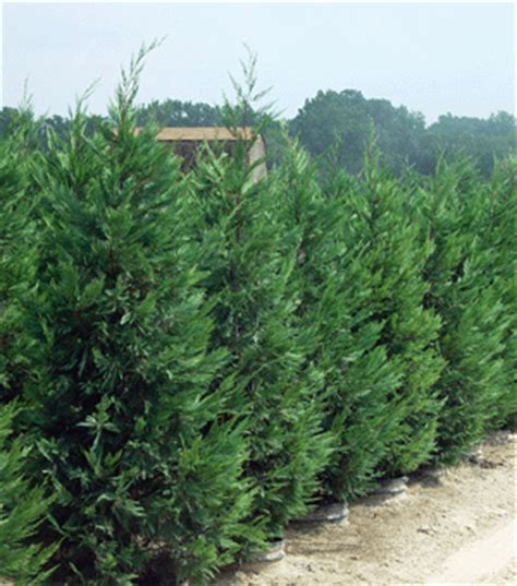 fast growing trees for privacy murray cypress thuja gardens