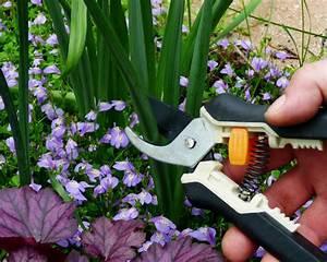 Pruning Daffodils  When To Cut Back Daffodils