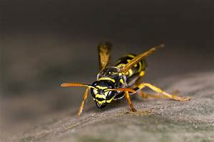 Was Hält Wespen Fern : bildquelle insectworld ~ Whattoseeinmadrid.com Haus und Dekorationen