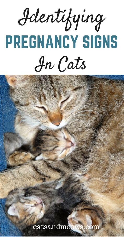 expecting kittens   identify pregnancy signs  cats