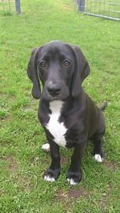 A Weimaraner x Beagle cross. Doesn't look too much like ...