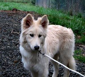 Siberian Husky Wolf Mix Puppy Photo - Happy Dog Heaven