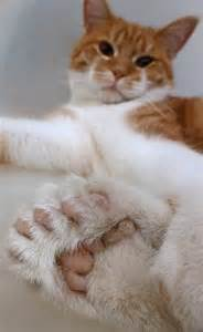 cats with toes cat with 26 toes to foot the bill for animal rescue center