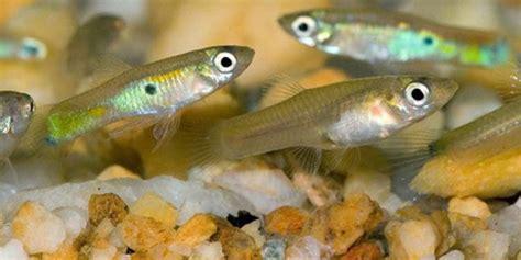 feeder guppies  betta fish betta fish tank betta