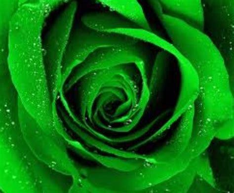 gambar bunga mawar hijau kumpulan gambar animasi