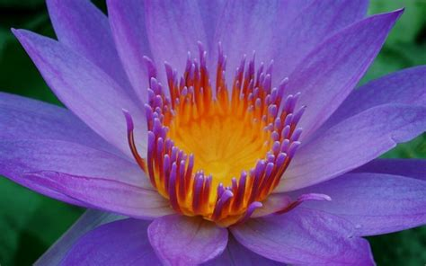 lotus flower image - HD Desktop Wallpapers | 4k HD