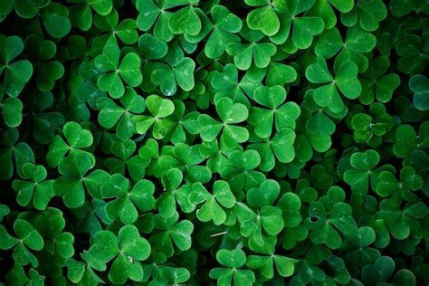 green leaf clover wall hd nature wallpaper