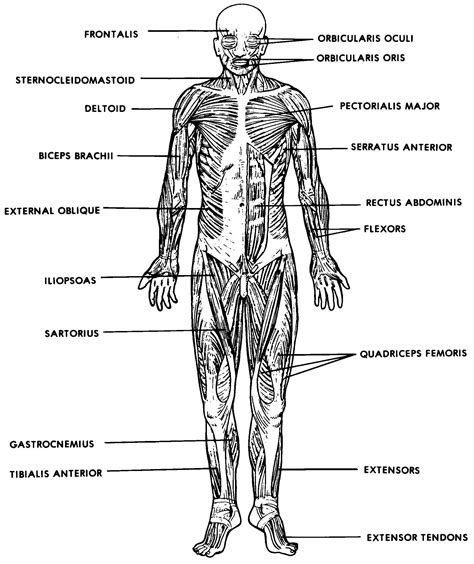 The following labelled diagram of human anterior muscles includes some muscles required by the this muscle diagram is interactive: Simple Human Muscles Diagram / Learn All Muscles With ...