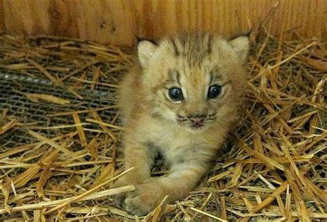 lynx kitten born   montreal biodome zooborns