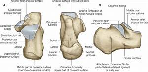 Calcaneus Anatomy And Attachments