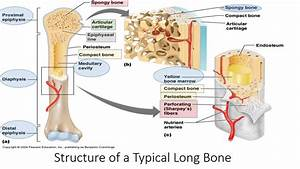 Bone Structure And Function  Human Anatomy