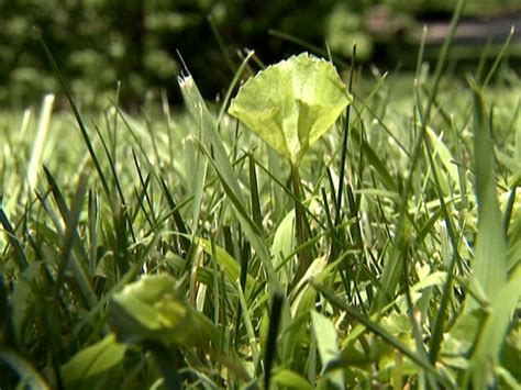 Beneficial Clover In Lawns