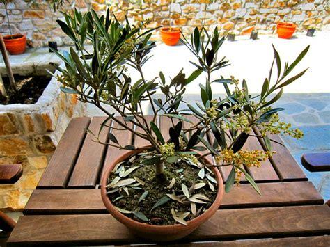 taille des oliviers en pots cultiver un olivier en pot