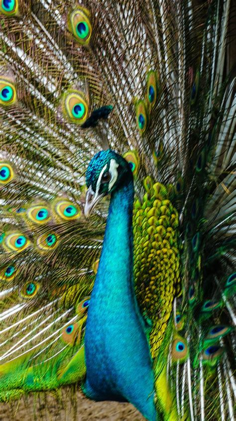 peacock tail open beautiful feathers  iphone xs