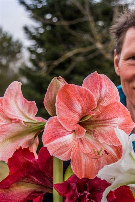 amaryllis blüht nicht amaryllis und ritterstern richtig pflegen ndr de ratgeber garten zimmerpflanzen