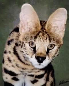 serval cat cost serval cat breeder