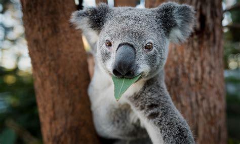 10 Interesting facts about koalas – WWF-Australia - WWF ...