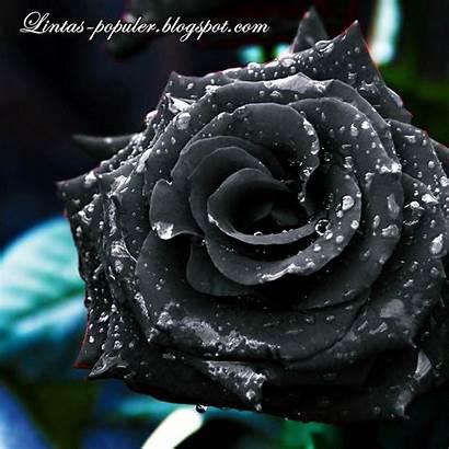 Bunga Mawar Gambar Cantik Hitam Bergerak Yang