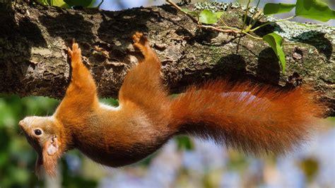 nature animals squirrel wallpapers hd desktop
