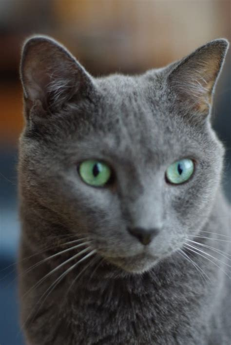 russian blue cat wallpaper google search animals