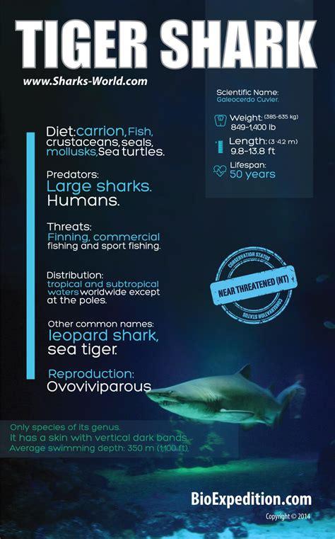 tiger shark infographic shark facts  information
