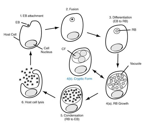 Diagram Of Chlamydium by Chlamydia Pneumoniae Meddic