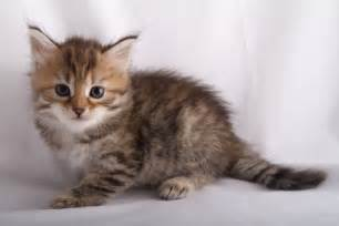 brown tabby cat alexandrite siberians fe s kitten brown mackerel tabby