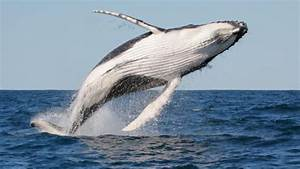 BBC - Earth - Why whales jump out of the water, or slap it ...