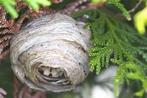 Stehen Wespen Unter Naturschutz : wespennest wir leben nachhaltig ~ Whattoseeinmadrid.com Haus und Dekorationen