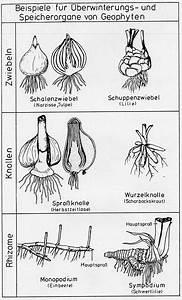 Aufbau Der Zwiebel : aufbau und funktion der pflanzen pdf ~ Lizthompson.info Haus und Dekorationen