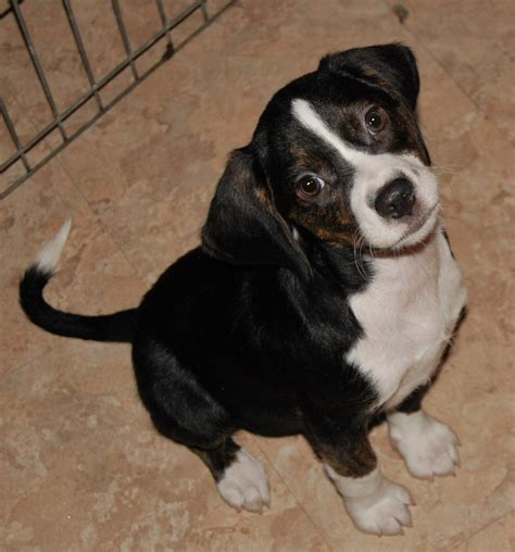 Levi Beagle Puppy Up  Ee  For Adoption Ee   From Paws N Time